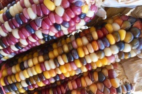 Indian corn closeup