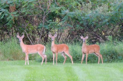 Three young bucks stand at attention in a field