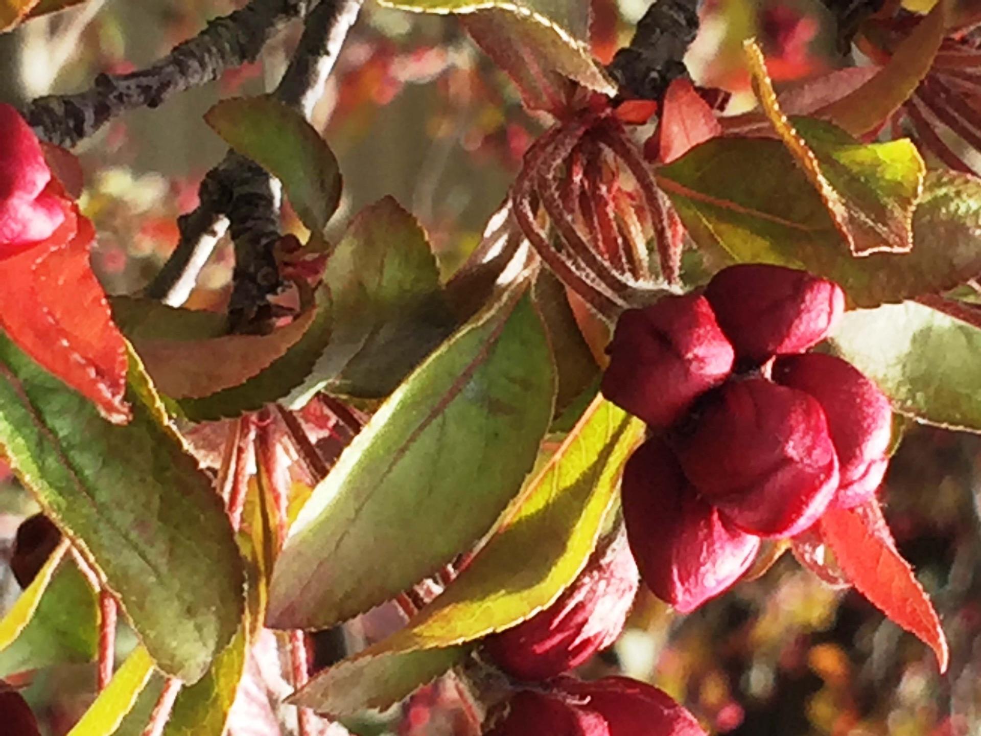 Crabapple blossoms at Glen Arbor B&B