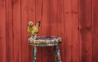 A chicken perches on a paint-covered stool next to the red barn.