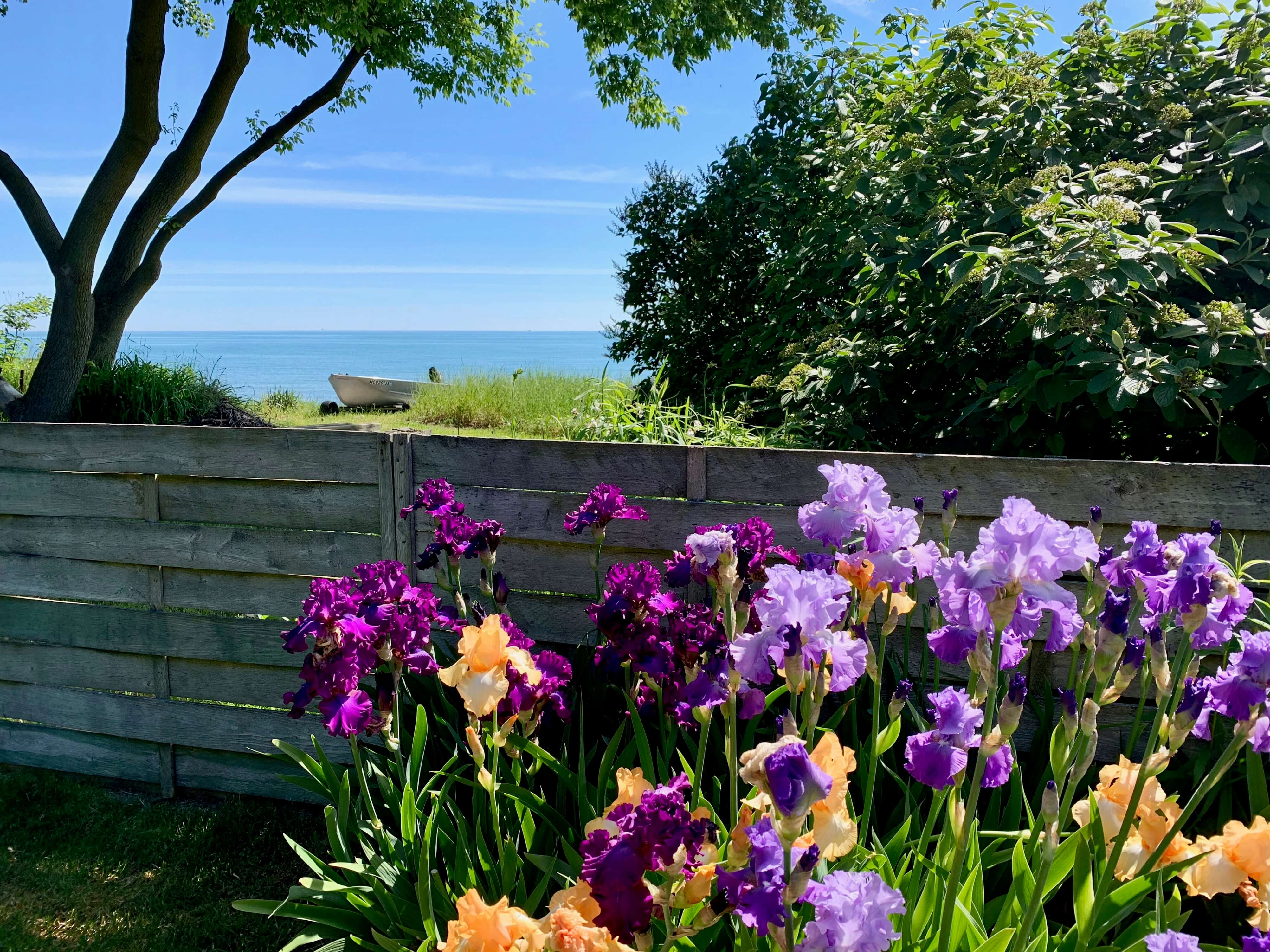 Irises in bloom, a fence and Lake Huron in background