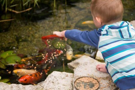 Kids feed fish at the koi pond at Victoria Resort