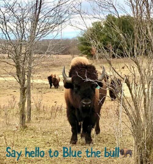 Blue, the bull at Pohl Bison